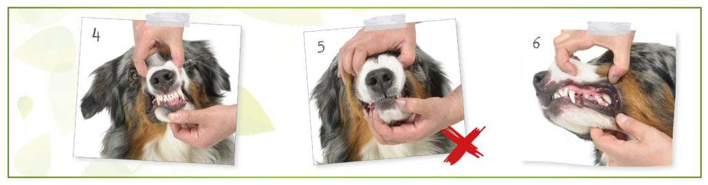 kesehatan anjing - Check your dog's mouth 2